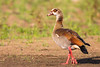 Egyptian Goose by rhysmarsh