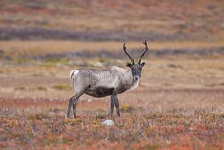 Reno / Reindeer | by FlickrdeChato