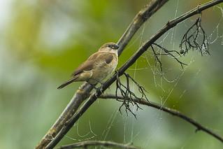 Bar-breasted Firefinch fem - Kakum - Ghana_S4E2515