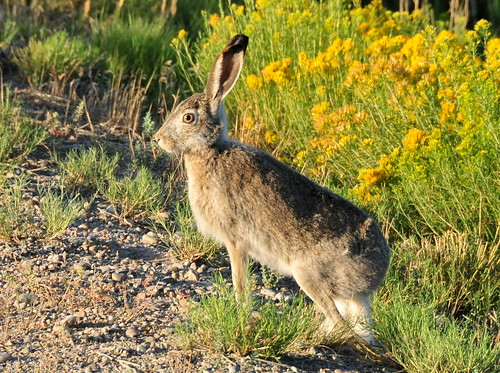 White-tailed Jackrabbit on Seedskadee National Wildlife Refuge | by USFWS Mountain Prairie