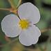Sagittaria graminea - Photo (c) Jerry Oldenettel, algunos derechos reservados (CC BY-NC-SA)