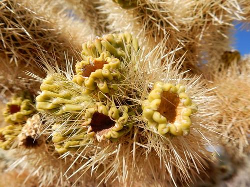 Joshua Tree NP - Cholla Cactus Garden - 3