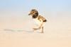 American Oystercatcher chick by Greg Gard