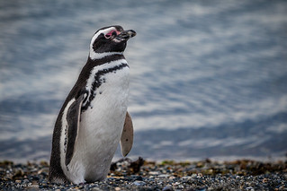Magellanic Penguin - Ushuaia, Argentina | by Phil Marion (176 million views - THANKS)