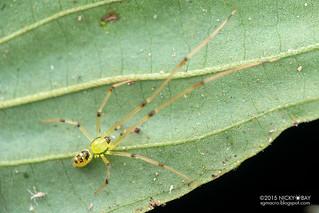 Mirror comb-footed spider (Thwaitesia sp.) - DSC_1268