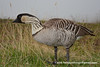 Nēnē (Hawaiian Goose) (Branta sandvicensis) DSC_7852 by fotosynthesys