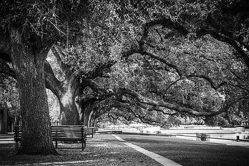 landscape nature usa oaktrees october mabrycampbell photo image blackandwhite trees texas houston hermannpark 2015 instagramapp iphoneography inkwell fav10 fav20 fav30 fav40 iphone