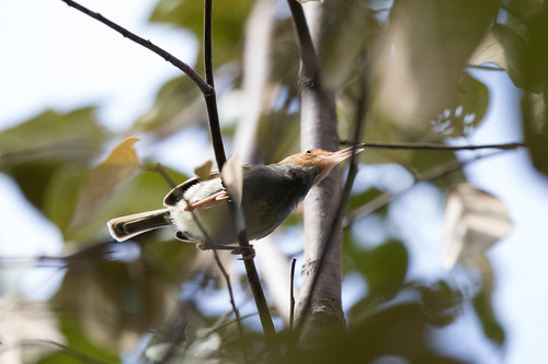 Olive-backed Tailorbird (Orthotomus sepium), SE of Gilimanuk, Bali, 2015-08-31--101