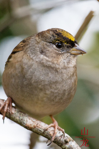 Golden-crowned sparrow (Zonotrichia atricapilla) | by DragonSpeed