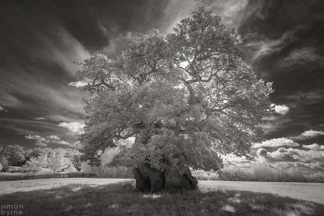 Judge Wyndham's Oak, Silton, Dorset