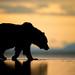 Coastal Brown Bear Silhouette by Kevin Morgans