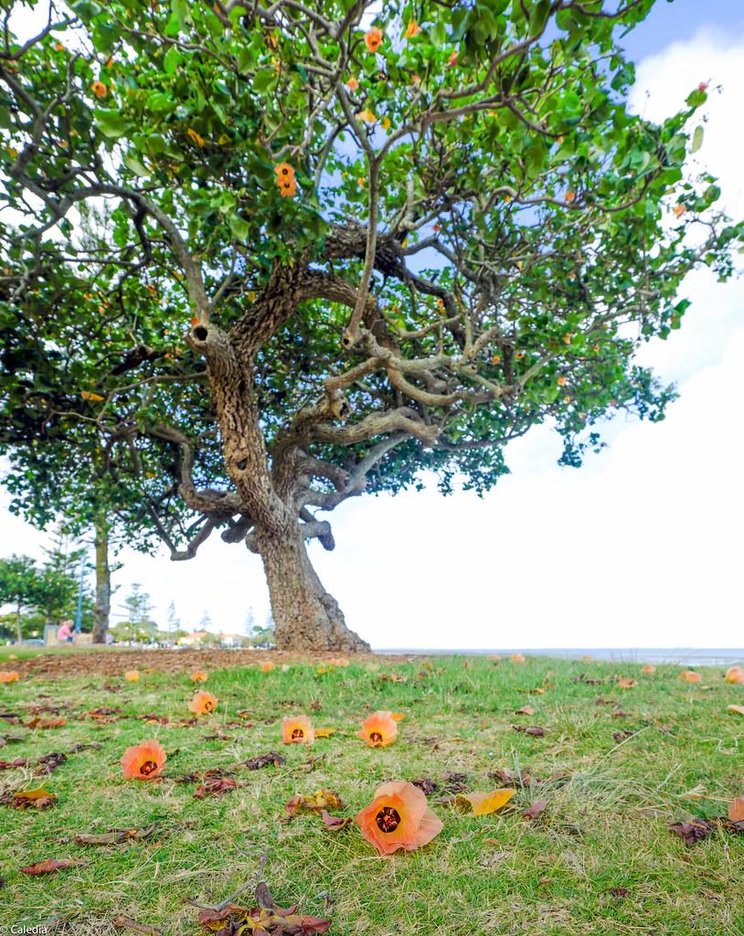 Cotton Tree Sea Hibiscus Flowers Hibiscus Tiliaceus Flickr