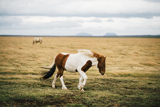 Icelandic Horse   by Phoenix.Wang
