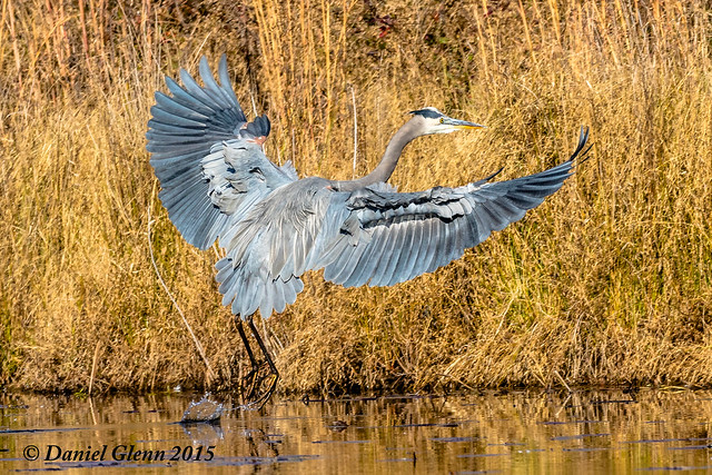 Great Blue Heron (Ardea herodias) comes in to land