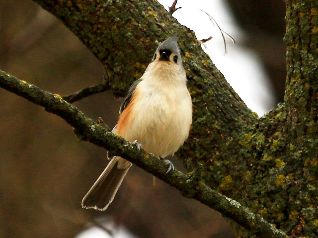 tufted titmouse at Yellow River State Forest IA 854A7533