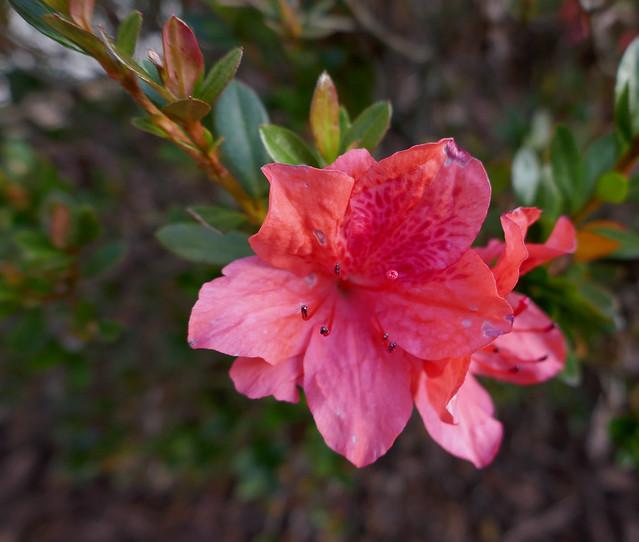 Dark pink Azalea flowers