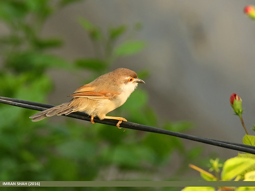 Yellow-eyed Babbler (Chrysomma sinense) | by gilgit2