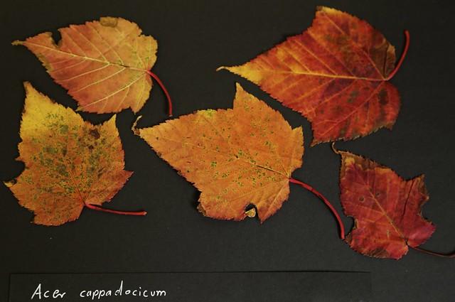 Acer cappadócicum