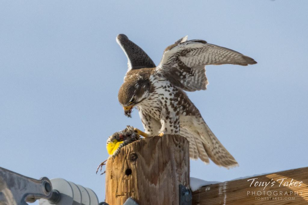 Prairie Falcon enjoys Meadowlark for breakfast