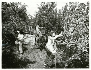 Izard's orchard, Henderson, during harvesting time
