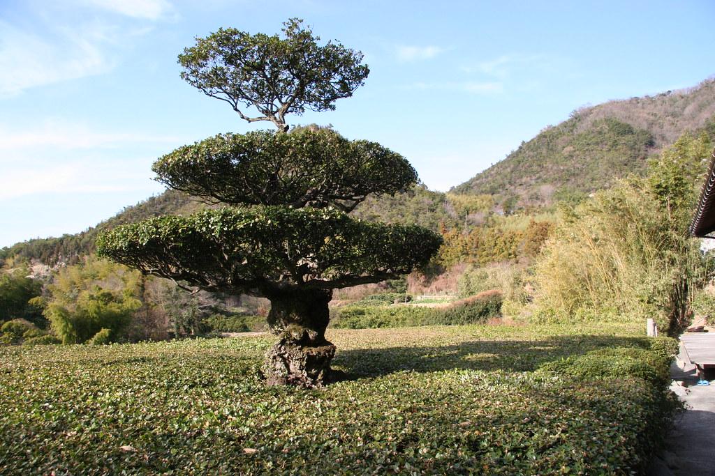 ウバメガシの画像 p1_36