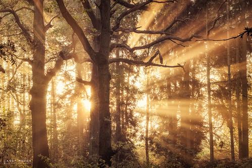 wood morning trees england nature sunrise woodland golden unitedkingdom sony gb rays sunrays dorchester goldenhour crepuscular a99 sonyalpha andyhough slta99v littlewittenhamwood andyhoughphotography tamronsp70200di