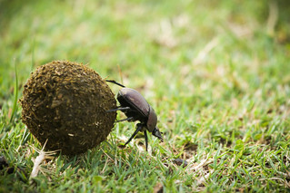 Dung Beetle- Kruger National Park, South Africa | by wsweet321