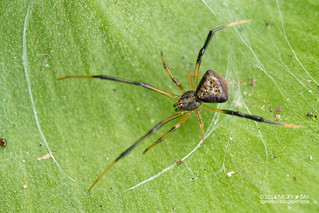 Comb-footed spider (Janula sp.) - DSC_5828