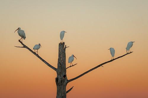 whiteibis snowyegret bird wildlife treestump sunrise armandbayou pasadena texas kayakphotography gseloff