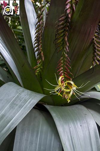 Flowers of Alcantarea imperialis