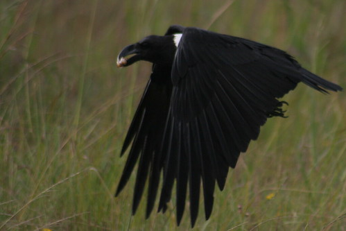 White-necked Raven | by MBoy68