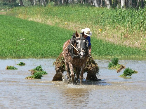 Repartint les garbes d'arròs per després fer la plantada   by joseptorta