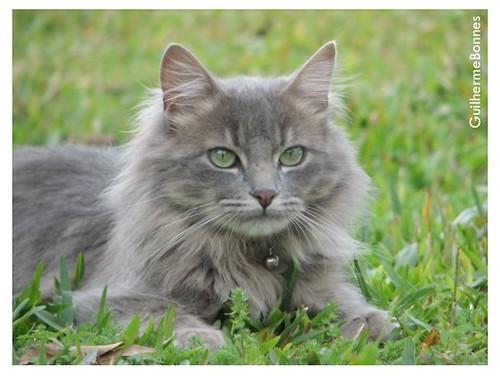 cat in the lawn | by Guilherme Bonnes