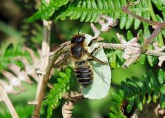 Coastal Leaf-Cutter Bee - Megachile maritima