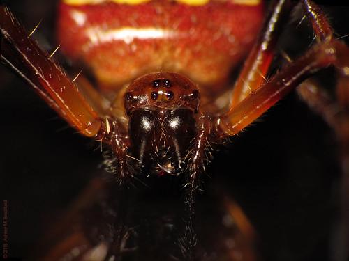 portrait face animal animals bug spider eyes spiders arachnid flash bugs fangs arachnids arthropods animalia arthropoda arachnida orbweaver huntleymeadows arthropod onblack araneae verrucosa dcr250 raynox orbweavers araneidae chelicerae chelicerata araneomorphae img7354 chelicerate arrowheadspider verrucosaarenata img7353 entelegynes chelicerates sx30 taxonomy:binomial=verrucosaarenata arachtober2015