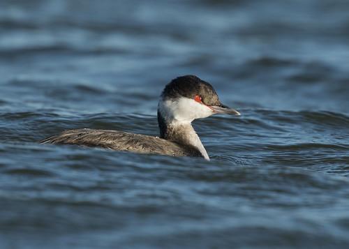 slavoniangrebe podicepsauritus sussexbirds