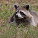 Flickr photo 'Raccoon (Procyon lotor)' by: Mary Keim.