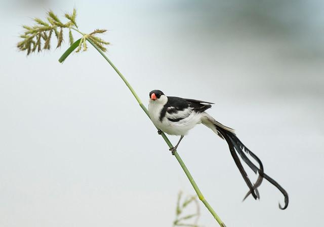 Pintailed Whydah,(Explored), Vidua macroura, Aiselby Farm, Bulawayo, Zimbabwe