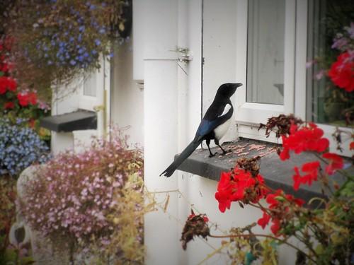 ireland irish bird window nature fauna garden feeding cork magpie newmarket superstition hangingbaskets hww beddingplants mountainviewbb 115picturesin2015 2015onephotoeachday canonixus170