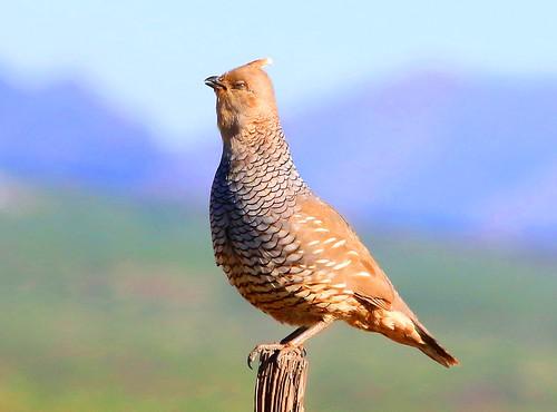 arizona reis larry portal quail scaled