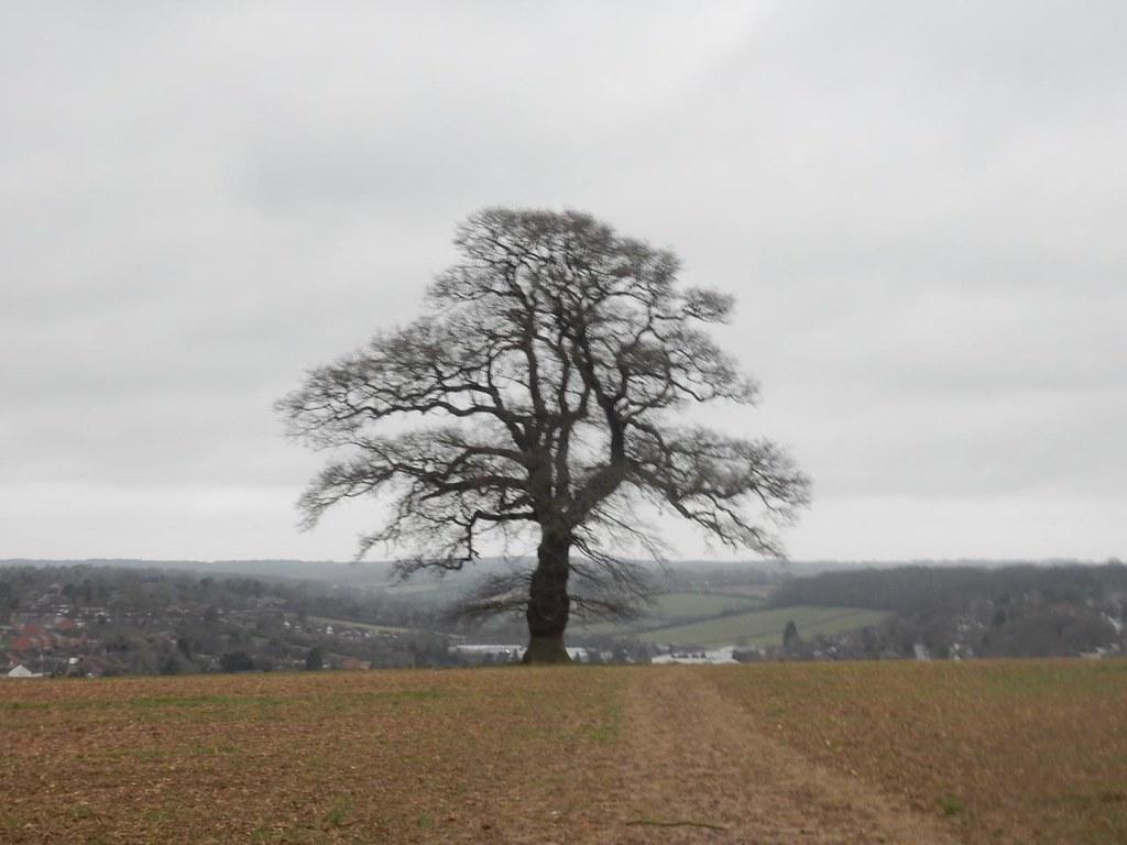 Tree, overlooking Chesham Chorleywood to Chesham