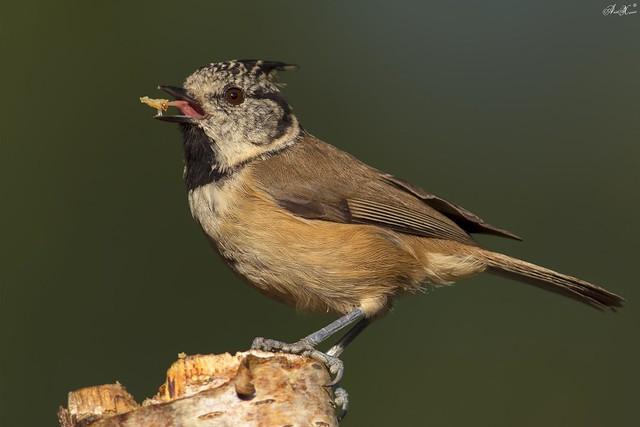 Chapim de Poupa, Crested Tit (Parus cristatus) - em Liberdade [WildLife]