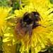 Bombus pomorum (Apple Bumblebee)