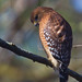 red-shouldered hawk in our yard by slider5