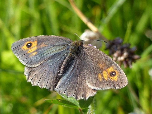 Meadow Brown Butterfly - Gailes Marsh