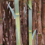 So, 16.08.15 - 14:04 - Bambus
