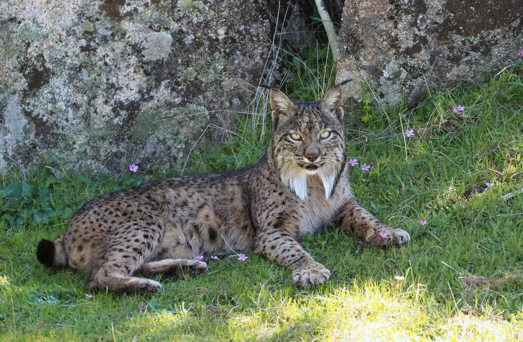 Male Iberian Lynx (Lynx pardinus), La Lancha, Parque natural de la Sierra de Andújar, España