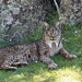 Iberian Lynx - Photo (c) Frank Vassen, some rights reserved (CC BY)