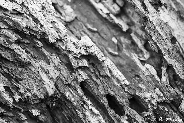 Rotten wood. Madera carcomida
