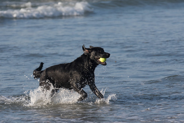 Higgins Beach - Black Dog Romping in the Water round 2-3.jpg